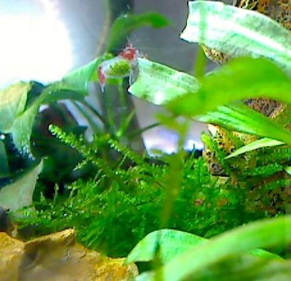 Shrimp_fanning_